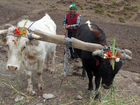 Decorated oxen