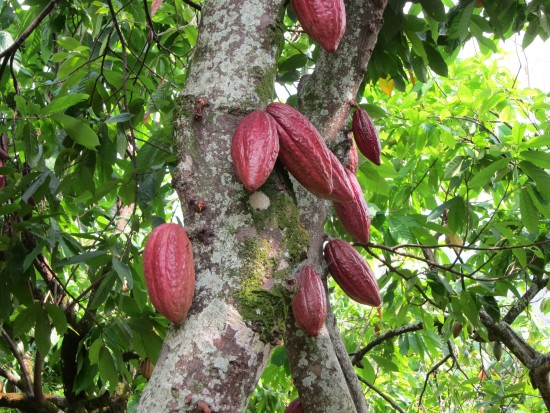 cacao on a tree