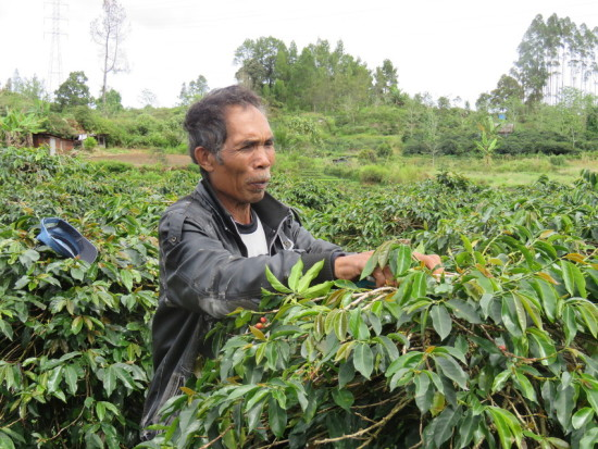 Dugar Lumbagaol, a 62 year-old father of five, started farming coffee fifteen years ago in the North Sumatra village of Hutajulu. After several years of making meager profits in rice, Dugar gave up and returned home to try his hand at coffee farming. Many farmers believe that producing coffee will not earn them enough income to purchase anything for their families beyond the barest essentials. They also do not wish for their children to follow in their footsteps, laboring to produce coffee for a market that is often unfair to individual farmers. LWR started working with farmers in Indonesiaâs coffee sector in 2012 as part of our Ground Up Coffee and Cocoa Initiative. We work in the coffee regions of Aceh, North Sumatra, and Nusa Tenggara Timur (NTT) with farmers and farmersâ organizations (cooperatives and farmers groups) to improve their coffee production capacity as well as their access to competitive financing and buyers. One means of doing this is our annual Temu Kopi Forum, which brings coffee farmers together with local and international buyers and financers for two days of networking and workshops on issues facing the coffee industry, such as climate change and methods for improving coffee quality. Our field schools train farmers on farm operational and financial management as well to ensure the sustainability and profitability of their livelihood. Dugar, who has participated in one of our field schools, has noticed that his newly acquired pruning skills have improved the productivity of his coffee trees, and he is more confident in his livelihood choice to become a coffee farmer.