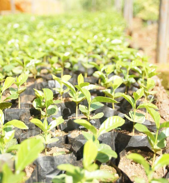 Seedlings from a nursery in Western Kenya