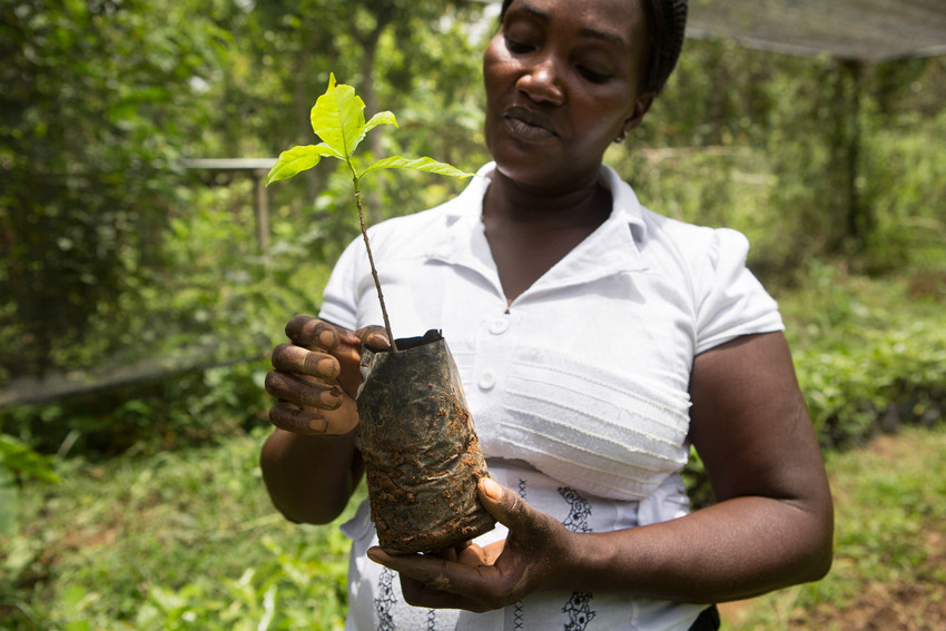 Lionel Philidor, a member of the Sainte Helene coffee cooperative, examines a coffee seedling in her plant nursery in Carice, Haiti, June 17, 2015. She learned how to grow seedlings and begin the nursery through her cooperative, in partnership with RECOCARNO, (Réseau des Coopératives Caféières de la Région Nord) the Network of Northern Coffee-Growing Cooperatives, and LWR. (photo by Allison Shelley for LWR)