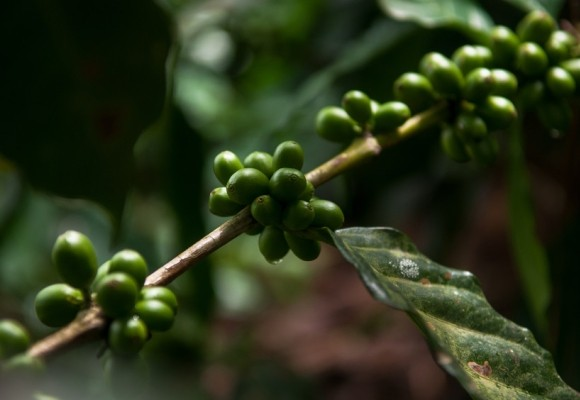 Preserving the Environmental Legacy of Colombian Coffee Growers
