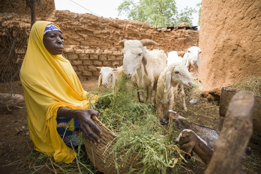 Tabizou Mahamadou (55), shown here feeding a sheep at her home in Tahoua Region, Niger, has benefitted from sheep fattening and selling initiatives under the 12/12 Alliance project Alliance 12/12 Project - Niger, West Africa. (Photo by Jake Lyell for Lutheran World Relief.)