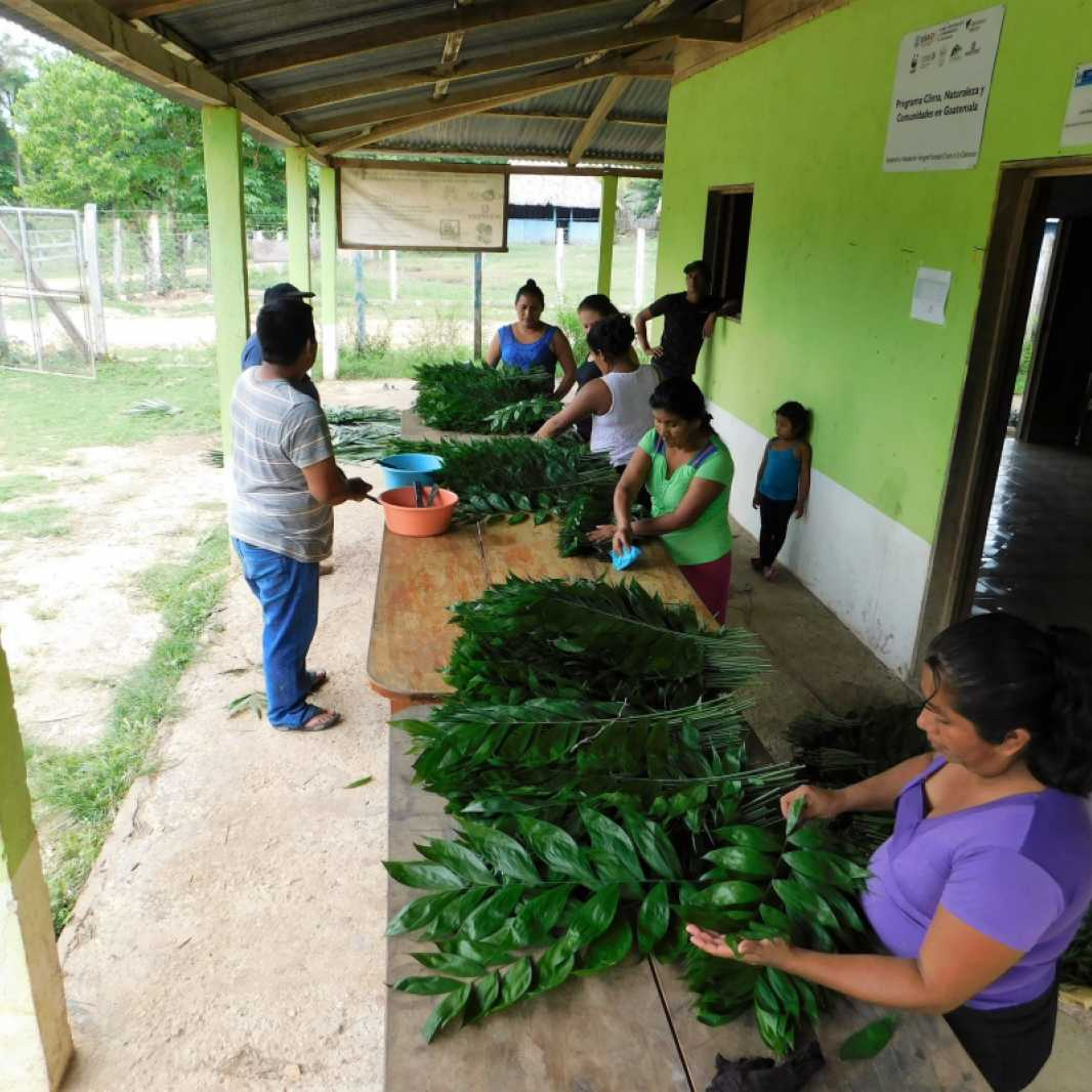 The process of sorting and packaging the palms is a communal task in the community of Carmelita, Guatemala.