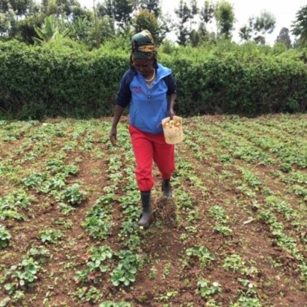 Jane Wangechi works her strawberry plot